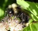 Cuckoo Bumblebee - Bombus fernaldae - male