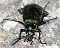 big green beetle - front - Calosoma scrutator