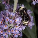 Bombus insularis - Indiscriminate Cuckoo Bumble Bee? - Bombus