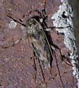 Gray and black longhorned beetle - Lepturges angulatus