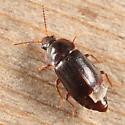 Rove Beetle - Olophrum obtectum