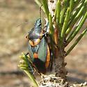 Euthyrhynchus floridanus  - Euthyrhynchus floridanus
