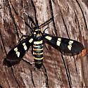 Syntomeida melanthus - Black-banded Wasp Moth - Syntomeida melanthus