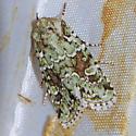 Laudable Arches Moth - Hodges#10411 - Lacinipolia laudabilis
