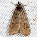 Dogbane Saucrobotys Moth - Achyra rantalis