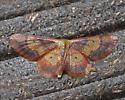 Red-Bordered Wave Moth  - Idaea demissaria