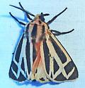 unknown AR moth #13 - Apantesis