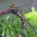 Clubtail - species? - Stylurus spiniceps