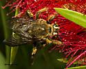 Bee on Bottlebrush - Xylocopa strandi