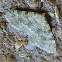 Dysstroma or Digrammia Sp.?  - Zenophleps obscurata