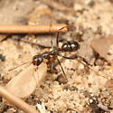 Spindly ant carrying a cocoon - Formica archboldi - female