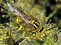 Wasp possibly Crabronidae - Philanthus multimaculatus