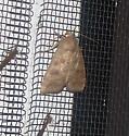 Ipimorpha? - Ipimorpha pleonectusa