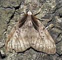 sexual dimorphism - Lymantria dispar - male