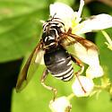 hornet mimic - Spilomyia fusca