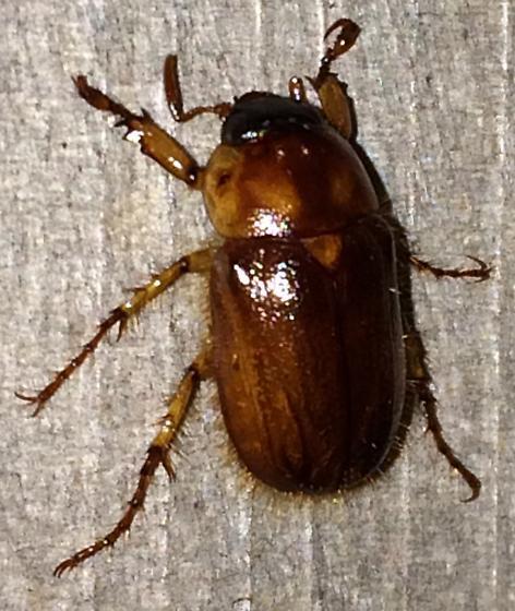 Cyclocephala borealis