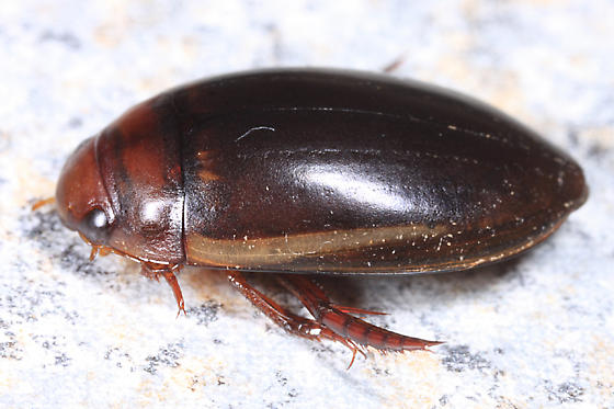 Predacious Diving Beetle - Hydaticus cinctipennis