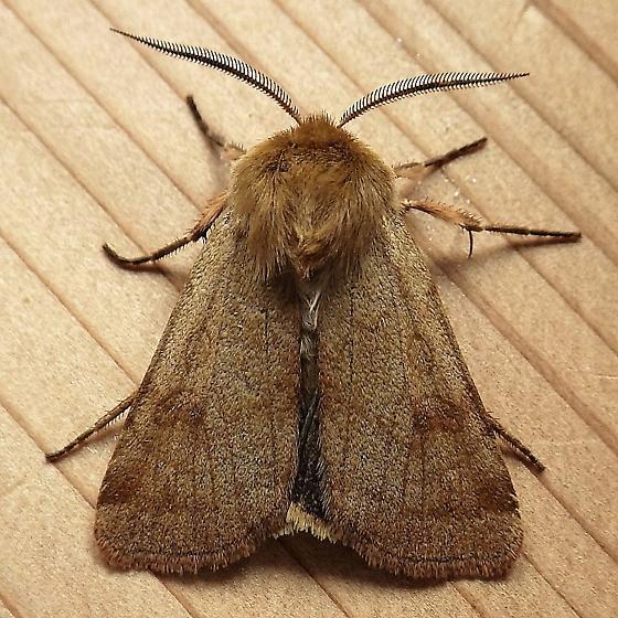 Noctuidae: Paradiarsia littoralis - Paradiarsia littoralis