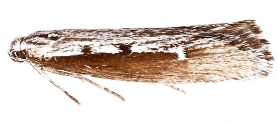 Gelechiidae? - Ethmia epileuca