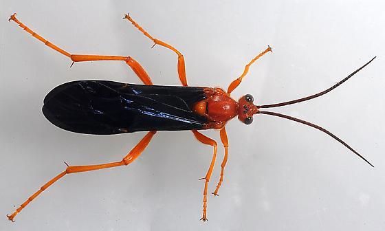 Trogus pennator ICHNEUMON WASP FAMILY (Ichneumonidae) - Trogus pennator