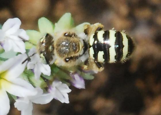 Bee from Irvine Park - Calliopsis hesperia - female