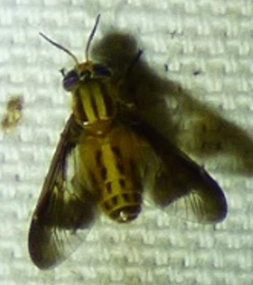 Fly? - female