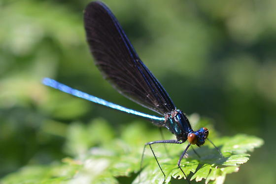 A type of jewelwing? Wings say maculata but the coloration of the eye and body is pecuiliar - Calopteryx maculata - male