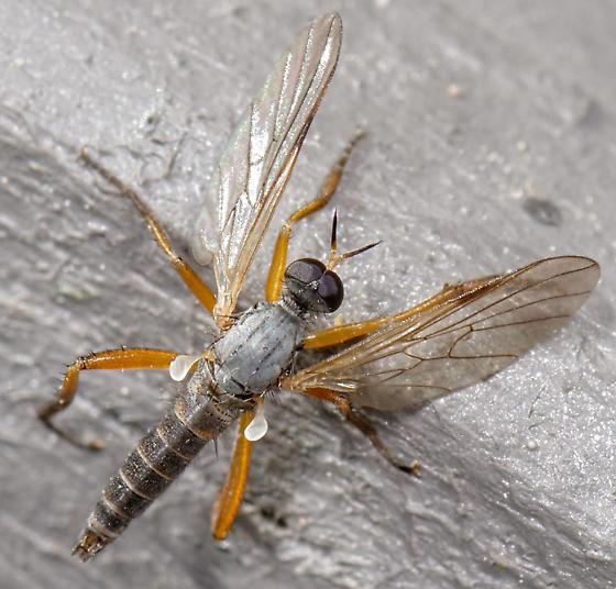 deceased empidid - Rhamphomyia - male