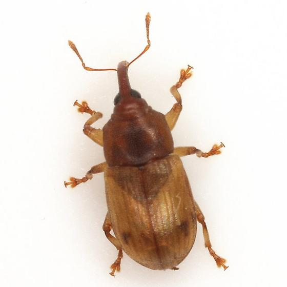 Notolomus sp. 2 - Notolomus