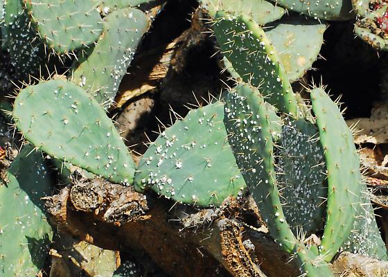 Explore Cochineal City  - Dactylopius