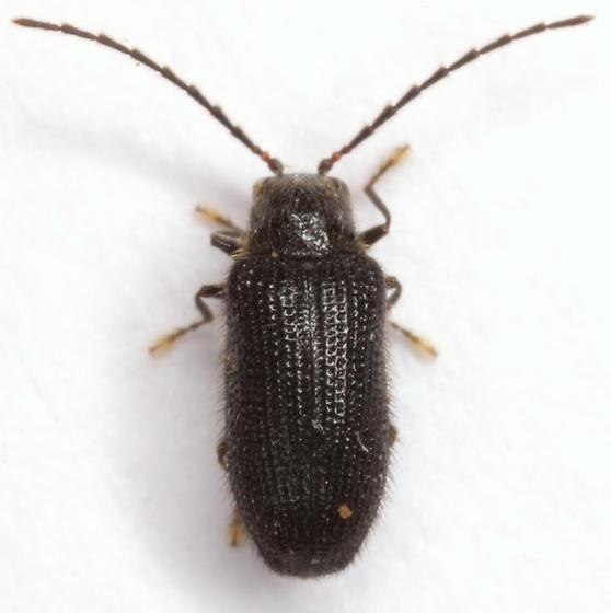 Eurypogon niger (Melsheimer) - Eurypogon niger