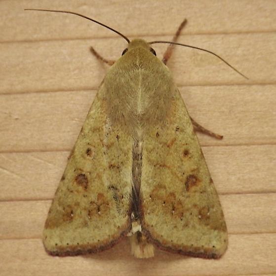 Noctuidae: Helicoverpa zea - Helicoverpa zea
