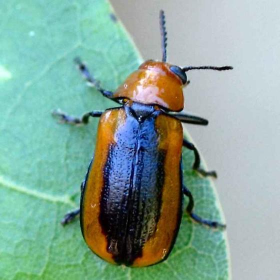 Reddish Brown Beetle with Black Stripe - Anomoea laticlavia
