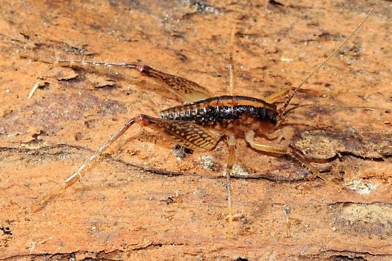 Camel Cricket - Ceuthophilus - male