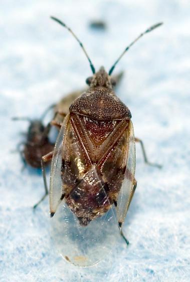 Aureolaria bug - Kleidocerys resedae