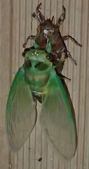 Cicada emerging - Neotibicen tibicen