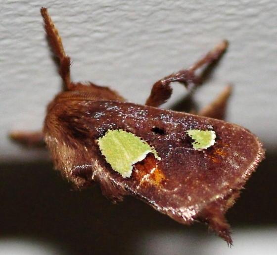 Nanina Oak-Slug Moth, 4697.1 - Euclea nanina