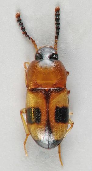 Darkling Beetle - Poecilocrypticus formicophilus
