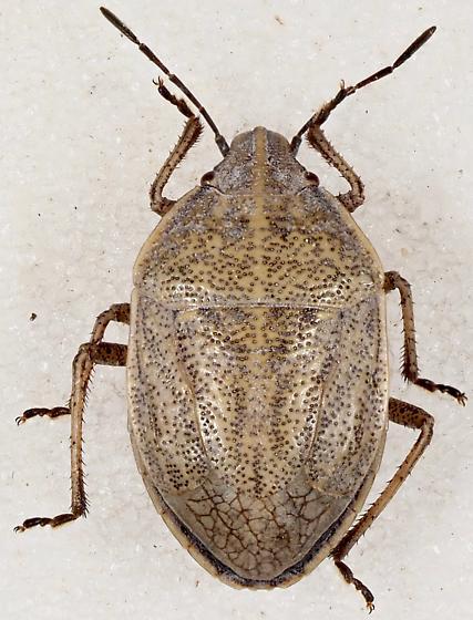 Scutelleridae - Shield-backed Bugs? - Coenus delius