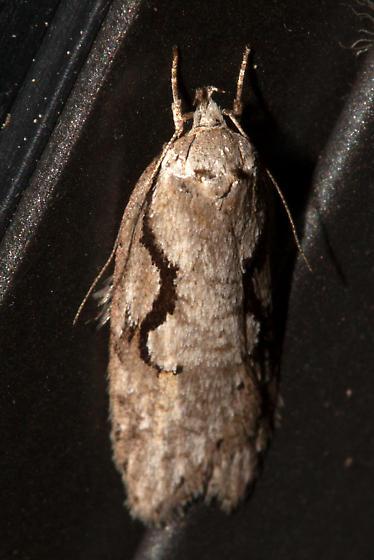 0912, Semioscopis packardella, Packard's Concealer - Semioscopis packardella