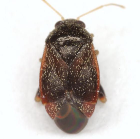 ?Phoenicocoris - Phoenicocoris