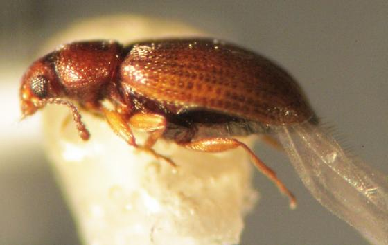 Latridiidae - Corticarina