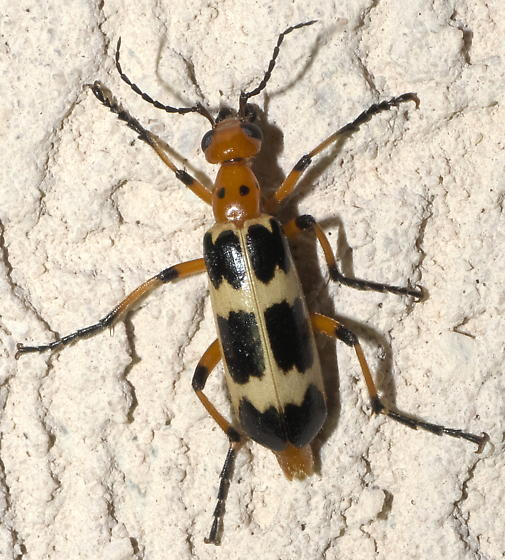 Orange, tan, and black blister beetle - Pyrota palpalis