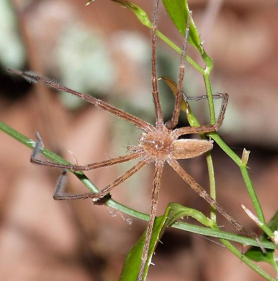 Nursery Web Spider (male of previous post?) - Pisaurina mira - male