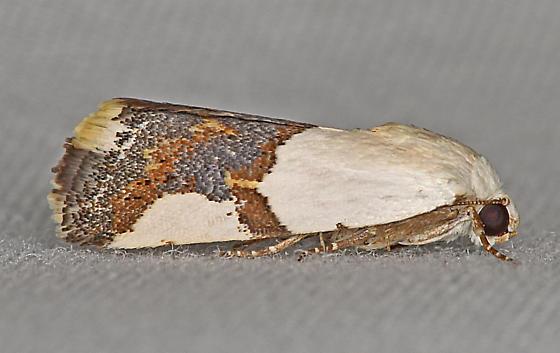 Moth, lateral - Ponometia cuta