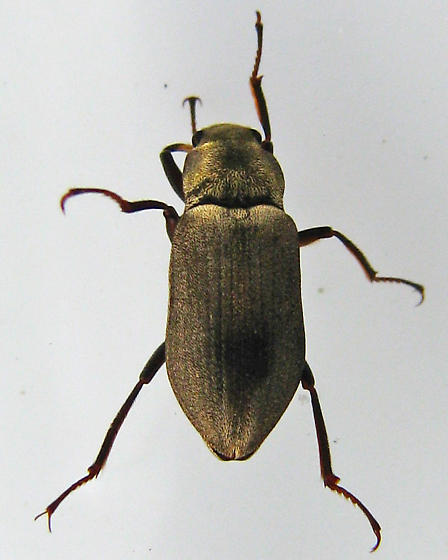 Dryopidae? - Postelichus