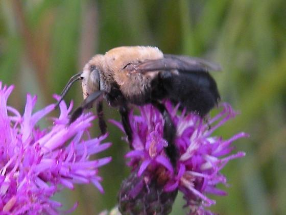 Centris bee ? - Centris
