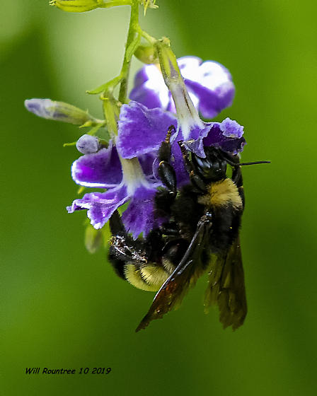 American bumblebee - Bombus pensylvanicus