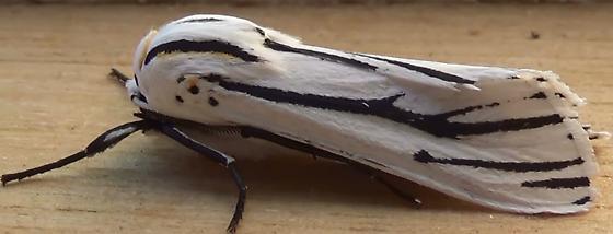 Sexy Clio Tiger Moth - Ectypia clio - male