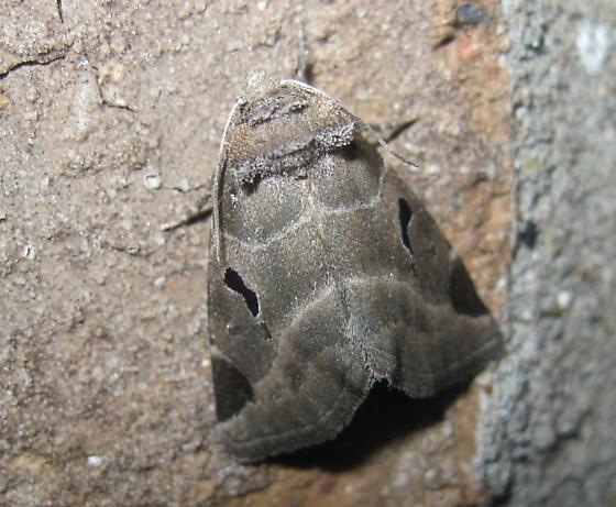 what species? - Plagiomimicus pityochromus